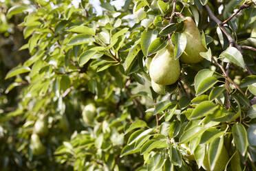 Williams pears on a tree - SEBF00267