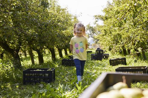 Streuobstwiesen, Deutschland, Baden-Württenberg, Owen, Schwäbische Alb, Bio-Williamsbirnen-Ernte beim Biobauern für lokal gebranten Williamsbrand, kleines Mädchen hilft bei der Ernte - SEBF00273