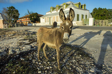 Portrait of wild donkey standing on land against house at Cockburn town, Grand Turk - RUNF03229