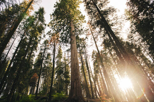 Sunset among the trees in the forest in Sequoia National Park, California, USA - GEMF03169