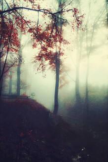 Herbstliche bäume im Gegenlicht bei Nebel, Wuppertal, Deutschland - DWIF01045