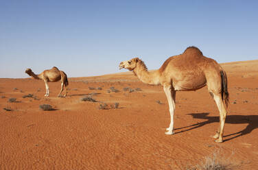 Dromedaries in Wahiba sands desert, Oman - WWF05315