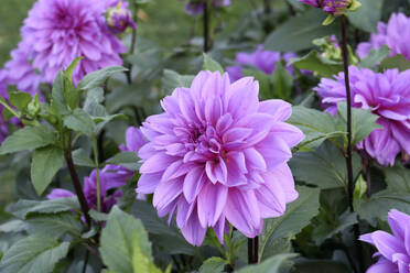 Germany, Saxony, close up of dahlia - JTF01365