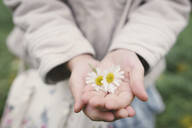 Little girl's hands holding two flowerheads of wearing Chamomil, close-up - EYAF00508