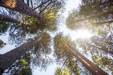Conifers seen from below, Yosemite National Park, California, USA - GEMF03199