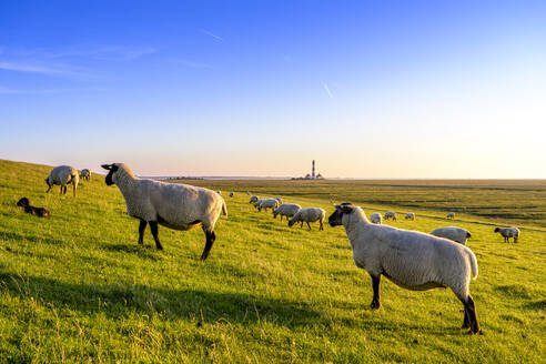 Flock of sheep grazing on pasture at the North Sea, Westerheversand, Germany - EGBF00356