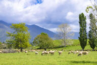 New Zealand, South Island, Tekaka, Flock of sheep grazing in green pasture - SMAF01604