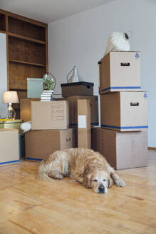 Dog lying on the floor in front of cardboard boxes in an empty room in a new home - MAMF00826
