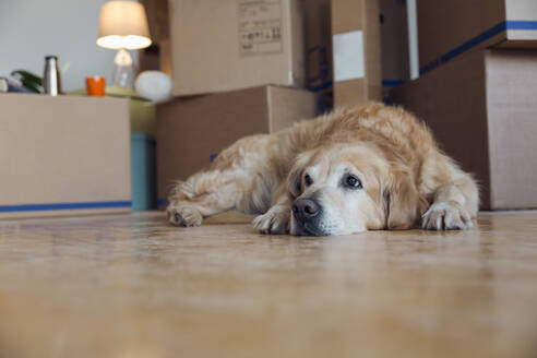 Dog lying on the floor in front of cardboard boxes in an empty room in a new home - MAMF00829