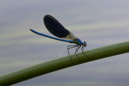 Croatia, Blue damselfly perching on plant stem - NGF00523