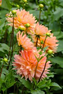 Germany, Bavaria, Bad Gronenbach, Orange blooming dahlia flowers - LBF02732
