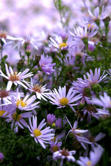 Germany, Saxony, Pink asters blooming in autumn - JTF01401