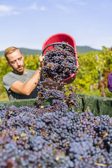 Man pouring red grapes on trailer in vineyard - MGIF00788