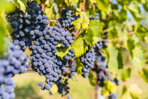 Ripe grapes on vine - MGIF00791