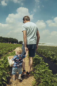 Father and son picking strawberries in strawberry plantation - MFF04899