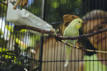 Boy watching budgie sitting in a cage on a twig - MFF04929