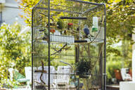 Budgies sitting in a cage on a twig - MFF04935