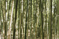 Crop view of bamboo forest, Aveiro, Portugal - AHSF00942