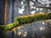 Germany, Bavaria, Close-up of moss-covered branch - HUSF00094