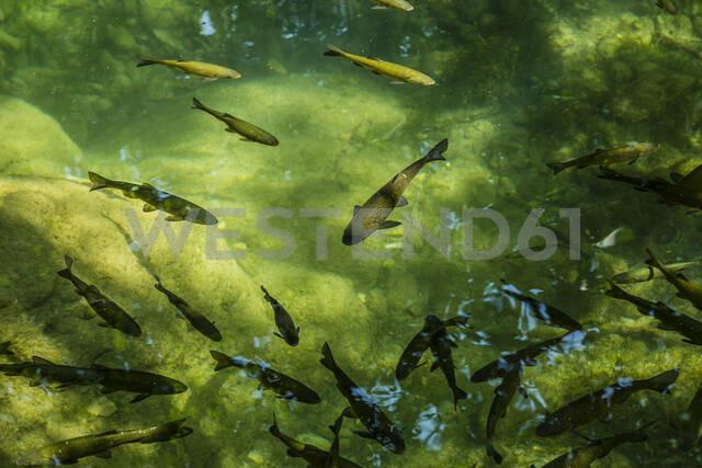 Croatia,Sibenik-KninCounty, School of fish swimming in green pond at Krka National Park - NGF00532 - Nadine Ginzel/Westend61