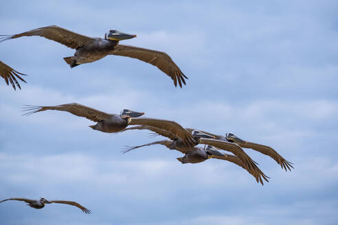 Small group of seabirds flying in sky, low angle side view - ISF22424