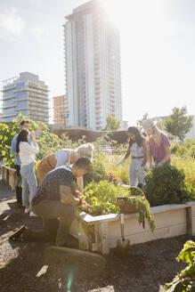 Friends harvesting fresh vegetables in sunny, urban community garden - HEROF39418