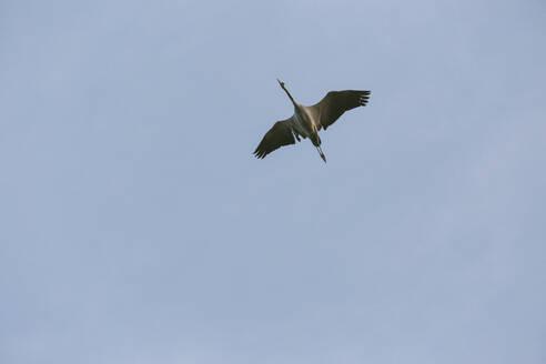 Germany, Linum, Majestic Crane Flying - JUBF00358