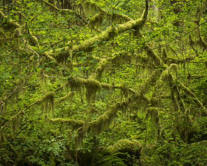 Hoh Rainforest, Olympic National Park, UNESCO World Heritage Site, Washington State, United States of America, North America - RHPLF12468