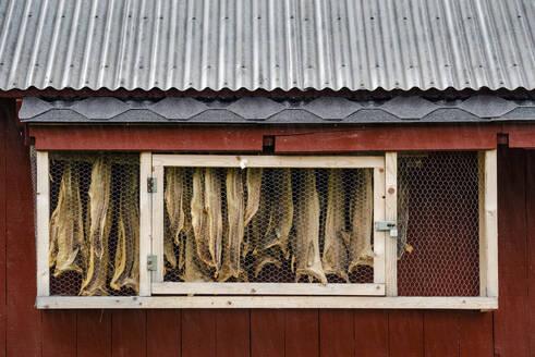 Hanging dried fish, Sandvika, Senja, Norway, Scandinavia, Europe - RHPLF12522
