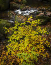 Beech leaves (Fagus sylvatica) and stream in autumn, Padley Gorge, Peak District National Park, Derbyshire, England, United Kingdom, Europe - RHPLF12582