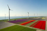 Windfarms both on and offshore, blossoming bulb fields in polder, Urk, Flevoland, Netherlands - CUF52600