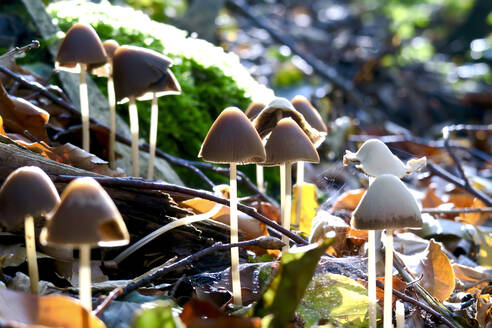 Germany, Saxony, Mushrooms growing in Autumn forest - JTF01404