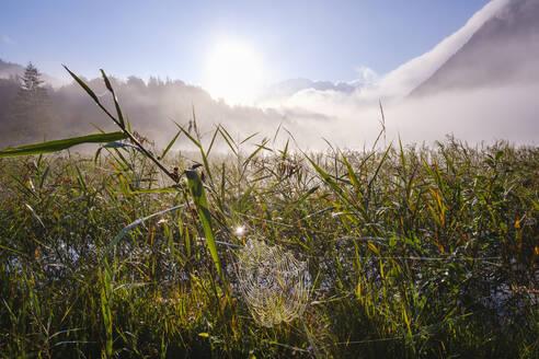 Spinnennetz im Schilf am Ferchensee, bei Mittenwald, Werdenfelser Land, Wettersteingebirge, Oberbayern, Bayern, Deutschland - SIEF09223