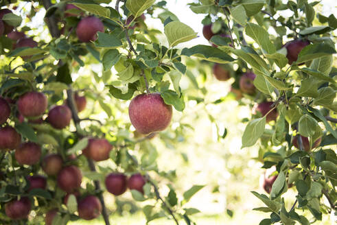 Low angle view of apple tree - CAVF66732