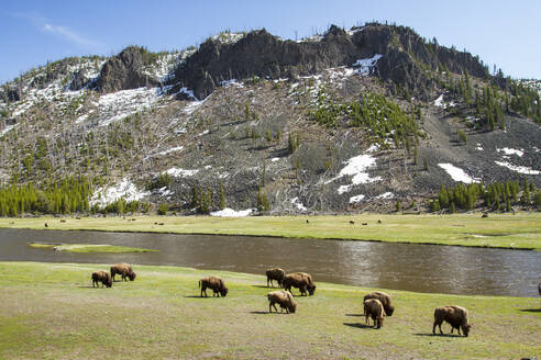 High angle view of American Bisons walking on field by river against mountain - CAVF67421
