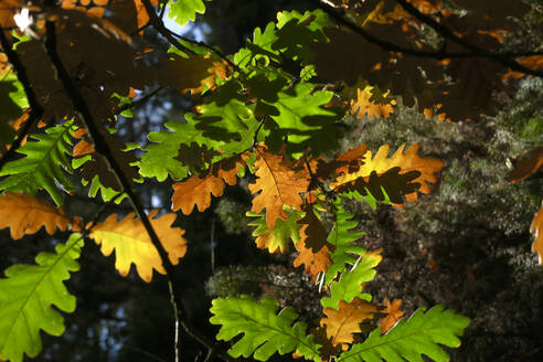 Germany,Saxony, Oak leaves changing color in autumn - JTF01408