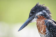 A giant kingfisher, Megaceryle maxima, side profile, light green background. - MINF12692
