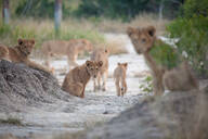 Lion cubs, Panthera leo, sit in gray sand, direct gaze - MINF12734