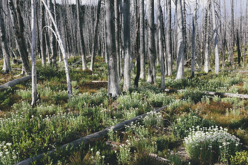 A previously burnt subalpine forest rebounds in summer with lodgepole pine and a variety of wildflowers, yarrow, aster, arnica and corn lily. - MINF12815