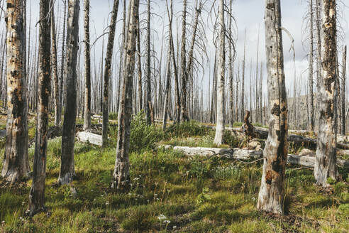 A previously burnt subalpine forest rebounds in summer with lodgepole pine and a variety of wildflowers, yarrow, aster, arnica and corn lily. - MINF12818