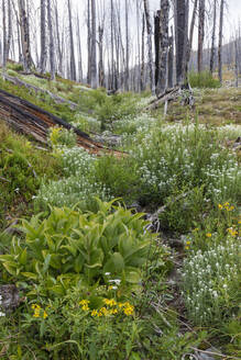 A previously burnt subalpine forest rebounds in summer with lodgepole pine and a variety of wildflowers, yarrow, aster, arnica and corn lily. - MINF12821