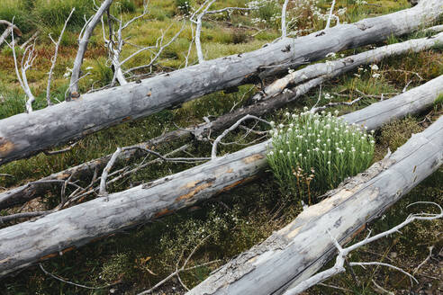 A previously burnt subalpine forest rebounds in summer with lodgepole pine and a variety of wildflowers, yarrow and woodrush. - MINF12824