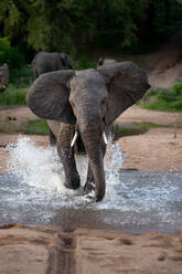 An elephant, Loxodonta africana, runs through water towards camera, ears facing forward, splashes around legs - MINF12944