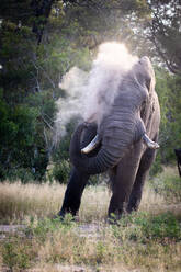 An African elephant bull, Loxodonta africana, sprays sand over itself using its trunk. - MINF12947