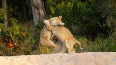 Two lion cubs, Panthera leo, play together and wrestle on their hind legs - MINF12960