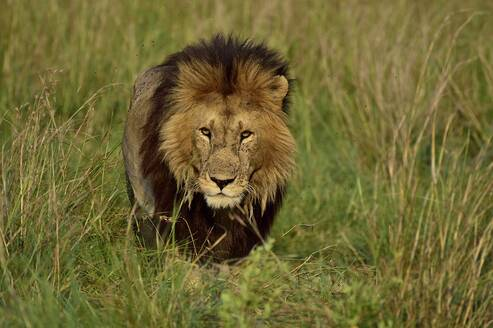 A male lion watches his prey - CAVF68768