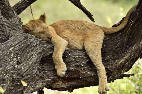 A young lion naps on a tree branch - CAVF68774