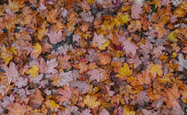 Autumn leaves covering soil - AHSF01193