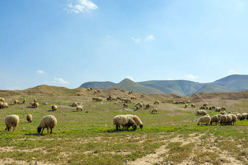 Bedouin sheep graze near al 'Auja, Jericho, West Bank, Palestine - CAVF69139