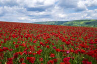 Beautiful red poppies set in the Derbyshire countryside, Baslow, Derbyshire, England, United Kingdom, Europe - RHPLF12910